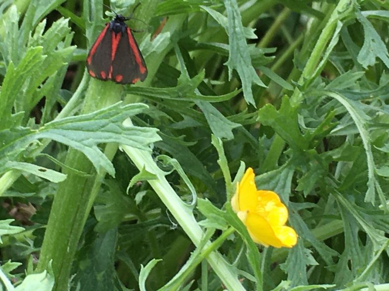 Cinnebar Moth | Sue Craig