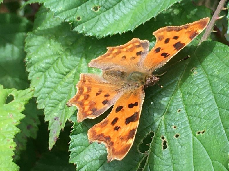 Comma Butterfly | Sue Craig