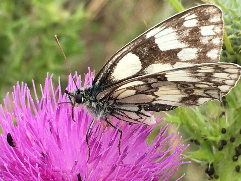Marbled White Butterfly | Sue Craig