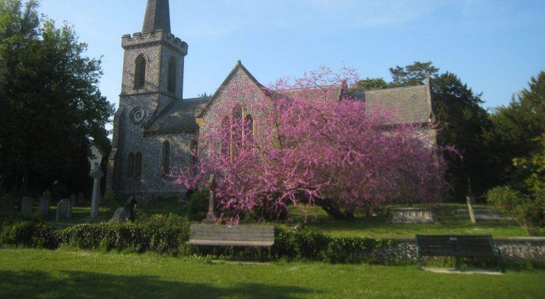 Stanmer Church Judas Tree
