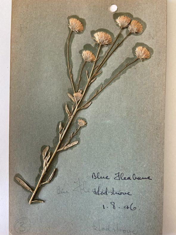 Blue Flower Hadshrove 01.08.1946 | Yeates Family