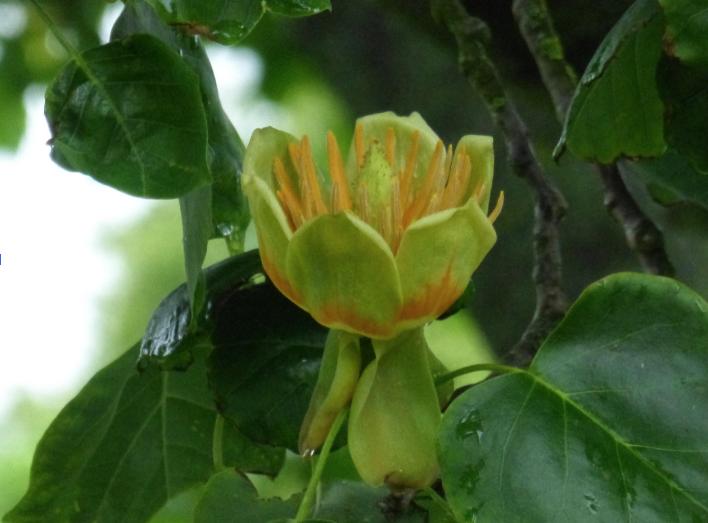 Flowering Tulip Tree   Pru Gridley